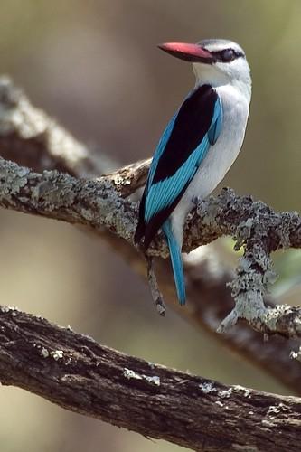 Woodland Kignfisher (Halcyon senegalensis)