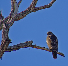 Some Like it HAWK! (blueskydesert) Tags: newmexico hawk albuquerque nm riogrande naturesfinest mywinners abigfave onlythebestare