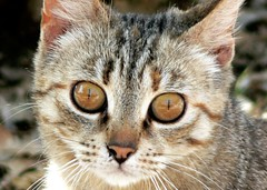 Sguardo felino (zio paperino) Tags: cats nature cat geotagged lumix kitten natura panasonic occhi felino fz5 gatto ziopaperino mygearandme mygearandmepremium mygearandmesilver mygearandmegold