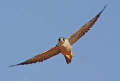 032054-IMG_4871 Grey Falcon (Falco hypoleucos) (ajmatthehiddenhouse) Tags: greyfalcon grayfalcon falcohypoleucos falco hypoleucos sa southaustralia bird 2007 australia