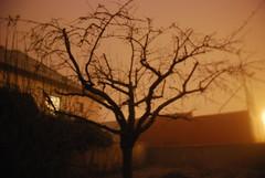 Cerisier dans la brume nocturne