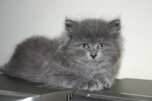 kucing persia warna kelabu