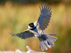 4 SEASONS (tinyfishy) Tags: bird flying inflight fourseasons chickadee blackcapped naturesfinest golddragon mywinners platinumphoto superbmasterpiece diamondclassphotographer megashot