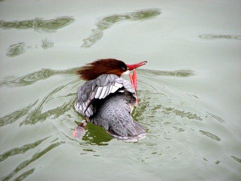 duck scratch!
