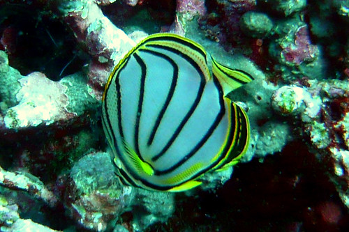 Meyer's Butterflyfish on Similan Islands