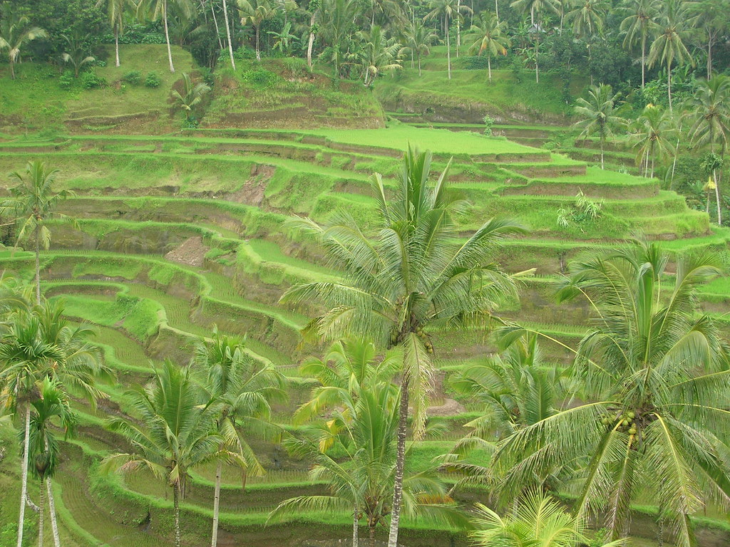 Padi terraces (Ubud)