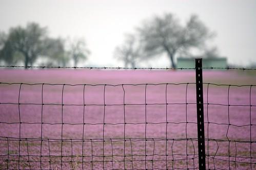 purple_field_01