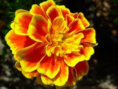 Flor (Anna Jlia Cavalcante) Tags: iloveit flowerpictures masterphotos flickrflorescloseupmacro