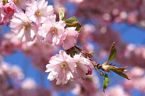 IMG_3502_närbild körsbärsblom