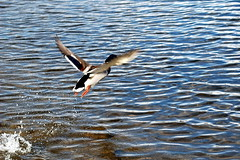Off I go (korayatasoy) Tags: road uk trip lake alexandria scotland duck highway lowlands scottish loch lomond yol duckie rdek luss scozia gl dunbartonshire a82 iskoya trossarchs