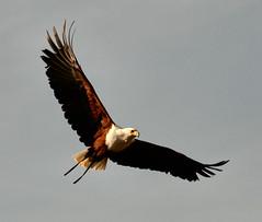 Aguila Calva. (liver---) Tags: madrid espaa zoo oliver aguila rapaz avez vuelocautividad
