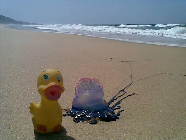 paco duck con una medusa en la playa de cofete, fuerteventura