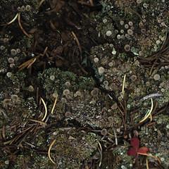 20160911KW_LN_Mmmold LN2016.jpg (kevinwenning) Tags: wenning mold spores kevinwenning undergrowth intentionallylostcom nature mountains forest macro leaf colorado clover pineneedles