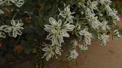 DSC07361 (millaraypalma1) Tags: flores vainilla color chile hojas withe blanco iso sun olor verano summer tierra green