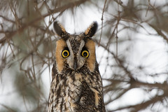 """High Alert"" (Long-Eared Owl) (Jesse_in_CT) Tags: longearedowl nikon200500mm"