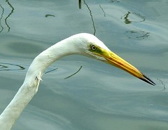 Great white egret close-up (hermaneva) Tags: white bird up neck close alba head great beak egret nagy egretta kcsag