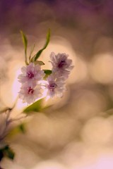 (Zoe Gregoric) Tags: light sun tree beauty soft purple sweet magenta violet cherryblossom
