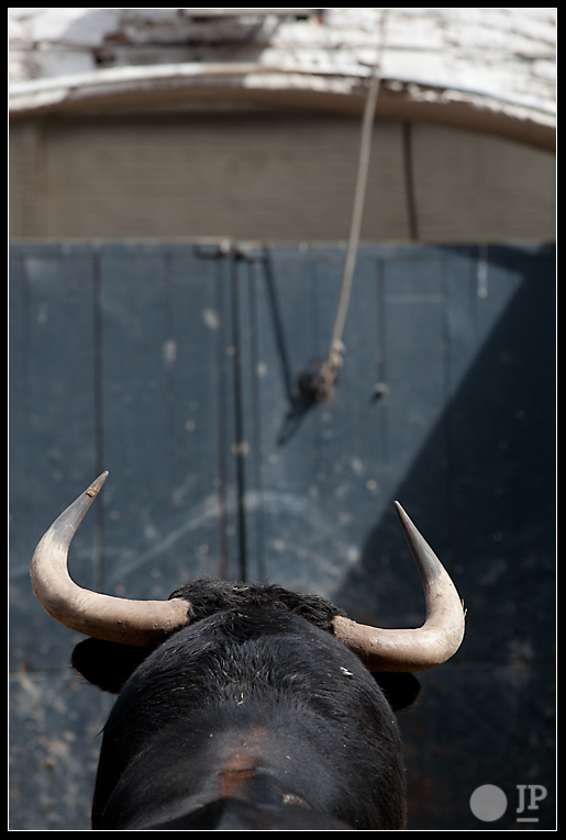 toro-de-Antonio-banuelos