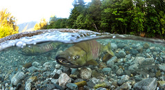 Good Looks (Fish as art) Tags: ecology ngc bellacoola icewater chumsalmon unterwasserfotografie salmonrivers coldwatersnorkeling salmonswimming underwaterphotographypaulvecsei salmonunderwater salmonimages halfunderwatershot