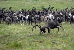 lassoing reindeer at natalia bay (Kamchatka) - part 2 (Russell Scott Images) Tags: reindeer russia arctic lariat caribou kamchatka lasso rangifertarandus koryak olyutorskyregion nataliabay