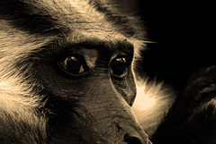 See the glory in his eyes (TimSchuler) Tags: blackandwhite bw white black animal sepia zoo monkey tim glory wildlife sony afrika 100 alpha tamron karlsruhe auge fkk tier affe 200500 wrde schuler wildnis ehre timschuler copyrighttimschuler