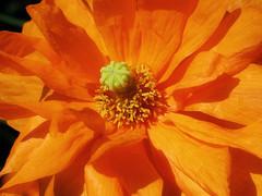 Take that! (Gary*) Tags: orange sun sunlight flower colour macro nature garden petals bravo explosion poppy blueribbon xoxoxo naturesfinest magicdonkey lovephotography goldenphotographer thegardenofzen siuntecitoinglesbiencalientitomevendriabiend soyconfusoahoralol