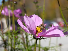 """Bumble Bee I guess... • <a style=""""font-size:0.8em;"""" href=""""http://www.flickr.com/photos/41711332@N00/1542841435/"""" target=""""_blank"""">View on Flickr</a>"""