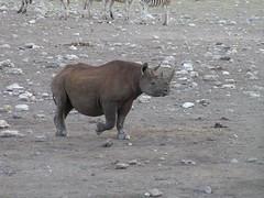Black Rhino, Etosha National Park (jmspointer) Tags: namibia blackrhino etoshanationalpark