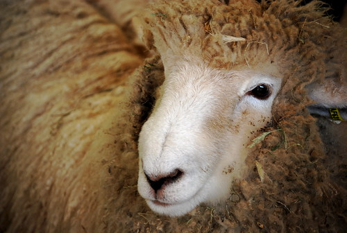 Corriedale? or Romney?