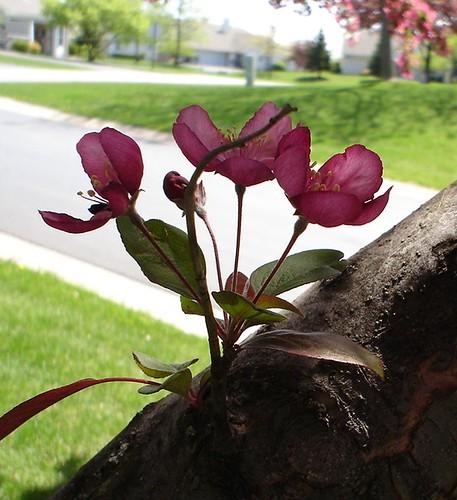 cherry_tree5
