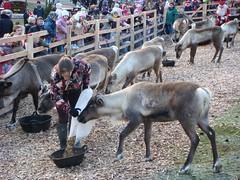 Reindeer being fed at Edinburgh's Reindeer garden