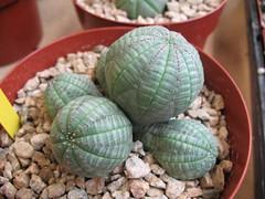 Euphorbia symmetrica (joeysplanting) Tags: euphorbia succulents euphorbiaceae euphorbiasymmetrica norcalcactussucculentshowsale2007