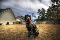 Noble Jake (blakelipthratt) Tags: roof dog house black tree pool grass clouds canon ga fence georgia chair backyard lab lawn sigma brunswick grill neighborhood 1020mm 1020 soe hdr xti 400d abigfave