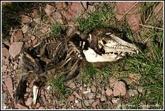The END (GUSTAVOSERONELLO) Tags: flesh dead death kill skin muerte final destiny fox end bone carne hueso zorro destino cadaver survive piel matar parca morir sobrevivir