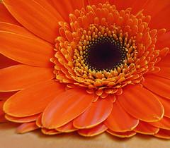 Orange Gerbera (dphock) Tags: flower macro naturesfinest diamondclassphotographer flickrdiamond photofaceoffwinner macromarvels pfogold gerberadaisypanasonicdmcfz18