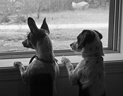 Bird watching (Boered) Tags: dogs window pokey darla birdwatching blancinegre doublebeauty thelittledoglaughed pointyfaceddog sognidreams