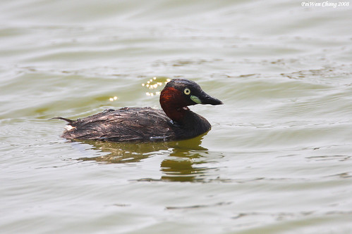 小鷿鷉 Little Grebe