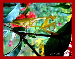 Louva-Deus 2 (Jaci Moquiche) Tags: natureza insetos louvadeus salveanatureza