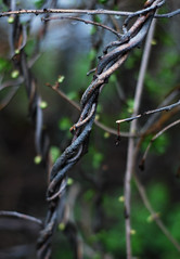 Twisted Woody Vines (Rachel Ford James) Tags: green leaves spring vines woody twisting d40x