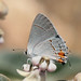 Gray Hairstreak - Photo (c) NatureShutterbug, all rights reserved