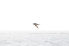 skåre bird fågel highkey