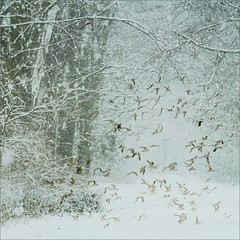 wishful thinking (me*voilà) Tags: eilenriede winter forrest snow cold birds layer ps
