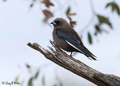 Dusky Woodswallow (Greg Miles) Tags: duskywoodswallow artamuscyanopterus