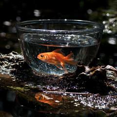 110506 Day 162/365 (Peter Hillhagen) Tags: fish water alone goldfish djuriskt fotosondag fs110508 hillhagen