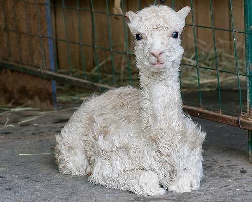 Baby Alpaca by matneym