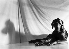 rolyn and her shadow (saikiishiki) Tags: blue shadow portrait bw dog white black love film k analog darkroom 35mm silver grey asahi pentax k1000 gray weimaraner 5bestdogs analogue oldskool  ilford 1000  omoshiroi weim greyghost gelatin bwfilm  squidoo blueweimaraner weimie thelittledoglaughed rolyn weimaranerart  bwphotogragh handdevelopedfilm handdevelopedbwprint handdevelopedbwphotograph handdevelopednegative waimarana blueweim weimaranerartist weimaranerphotography weimaranerphotographer saikiishiki