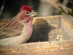 Cassin's Finch Male FEB03