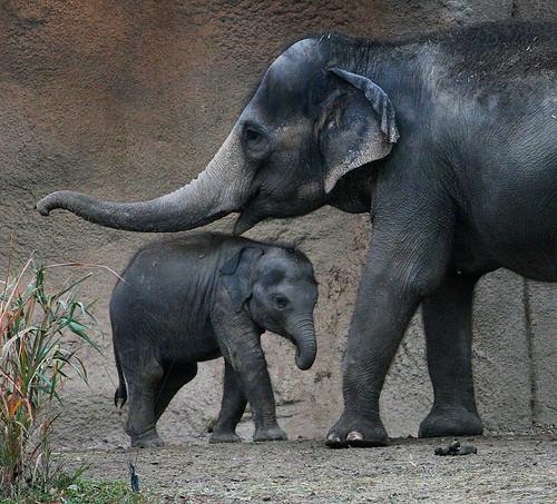 animals zoo park asian elephants photos baby asian