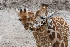 IMG_4886_emmen (Arie van Tilborg) Tags: zoo dieren emmen noorderdierenpark dierentuin mediacollege arievantilborg