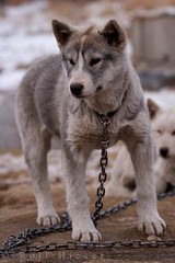 Canadian Eskimo Dog (Rolf Hicker Photography) Tags: world travel dog canada cute dogs animal animals puppy mammal photography tiere puppies photos manitoba churchill cutedogs mammals hudsonbay naturephotography travelphotography canisfamiliaris rolfhicker canadapictures canadianeskimodogs canadaphotography honeymooncanada canadianeskimodog picturesofcanada hickerphotocom
